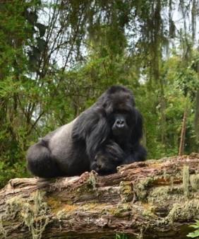 gorilla 2 (1)