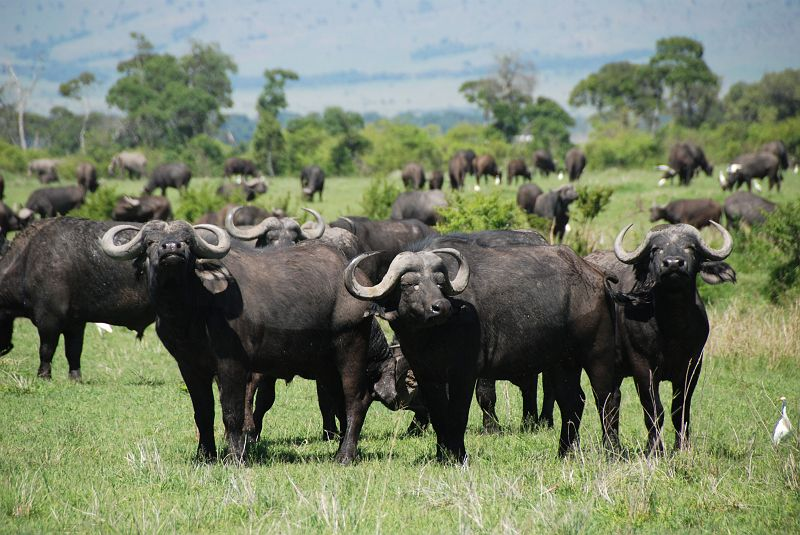 Image result for buffaloes in masai mara