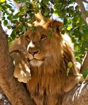 lions-casela (1)