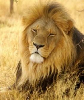 lion-960x447